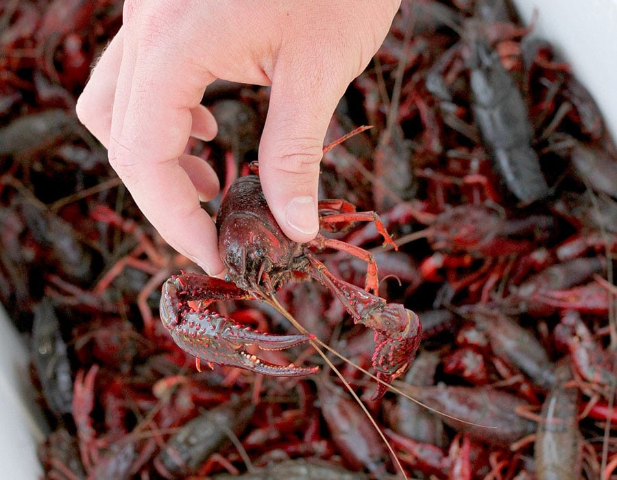 handing holding a single crawfish over a cooler full of carwfish